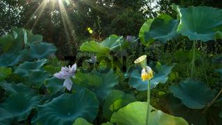 Lotus seedpod in pond In Xiamen Garden Expo