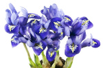 Spring  blue irises grow from bulbs macro