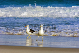 Seagulls dancing over the beach sand