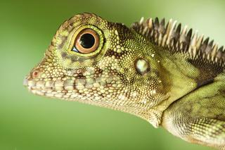 Borneo Anglehead Agamid-Borneo- Winkelkopfagame-Malaysia