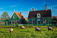 Sheeps grazing near farm houses in the museum village of Zaanse