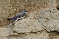 alle klassischen Merkmale einer Schwalbe... Uferschwalbe *Riparia riparia*