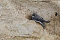 unsere kleinste Schwalbe... Uferschwalbe *Riparia riparia*