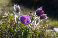 Pasque flowers in back lit in bloom