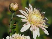 Chrysanthemum indicum 'Schloßserenade'