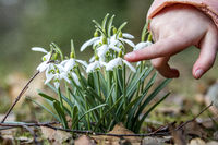 Child touches snowdrop with finger