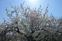20180417_Prunus avium, Süßkirsche, Sweet Cherry.jpg