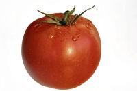 einzelne rote reife frische Tomate zum Freistellen