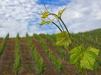 Weinberg mit Weinrebe im Vordergrund