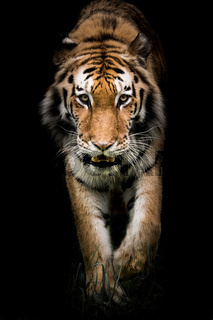 Amur Tiger On the Prowl II