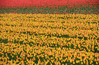 Feld mit Tulpen für die Produktion von Tulpenzwiebeln