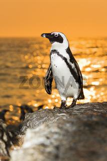 Brillenpinguin, (Spheniscus demersus), Jackass Penguin