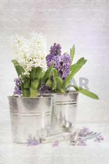 Purple hyacinth with an aged vintage look