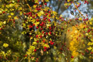 hawthorn, autumn, leaves, yellow trees