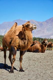 Camels in Nubra vally, Ladakh