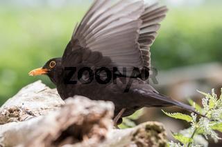 Abfliegende Schwarzdrossel
