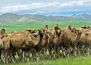 Herde von Trampeltieren