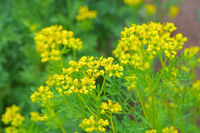 Weinraute, Ruta graveolens - Common Rue, Ruta graveolens a herbal plant