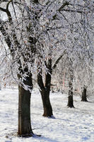 Beautiful trees with snow in winter park