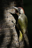 stets aufmerksam... Grünspecht *Picus viridis* in einem Lichtspot am Baum sitzend