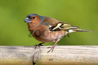 Buchfink im Vogelhaus
