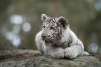 der Blick... Königstiger *Panthera tigris*