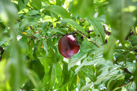 ripe red plum on tree