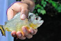 weisser Piranha im Dschungel von Peru