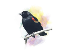 Red-Winged Blackbird watercolor