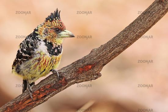 Hauben-Bartvogel, Schwarzrücken-Bartvogel, Südafrika, crested barbet, South Africa, Trachyphonus vaillantii