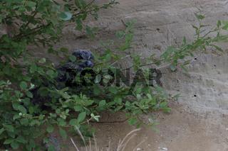 gut versteckt... Europäischer Uhu *Bubo bubo*, Jungvogel im Tagesversteck hinter einem Busch