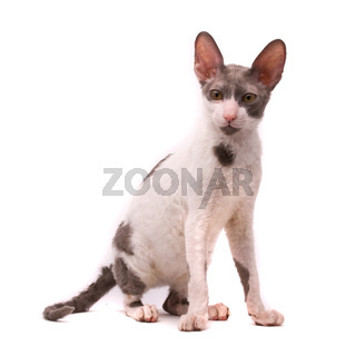 Cornish rex cat on a white background