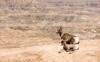 Bighorn Sheep Mother and Calf GPS Tracking Collar Badlands