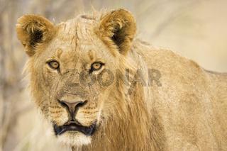 Loewe (Panthera leo) Savuti, Chobe National Park, Botswana, Afrika, Lion, Africa