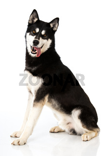 Sibirian Husky