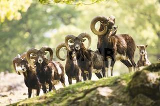 Mufflons (ovis ammon musimon) - moufflons (ovis ammon musimon)