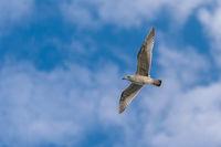 Fliegende Möwe vor strahlend Blauen Himmel