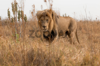 amazing lion south africa