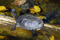 Picture of a Painted Turtle (Chrysemys picta) on a log
