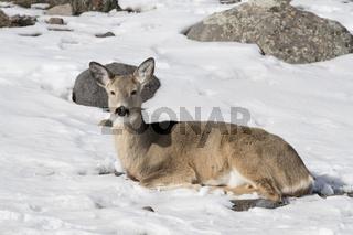 ruhend im Schnee... Weißwedelhirsch *Odocoileus hemionus*
