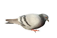 feral pigeon isolated over white background