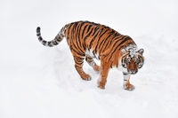 Siberian tiger standing in white winter snow