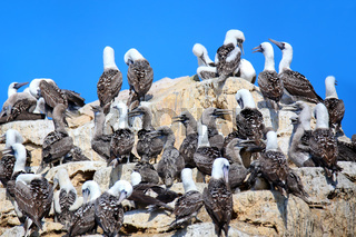 Colony of Peruvian boobies in Ballestas islands Reserve in Peru