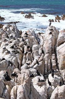 Kapkormoran-Kolonie, Kapscharben am Stony Point, Südafrika, colony of Cape cormorants, South Africa
