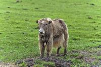 Junges Yak auf der Weide, Mongolei