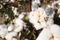 Open Cotton Boll Farm Field Cash Crop West Texas Agriculture