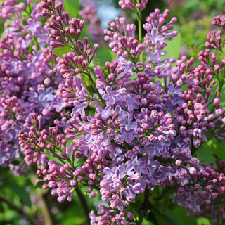Violetter Flieder, Syringa vulgaris