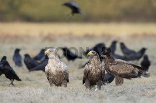 Adler unter sich... Seeadler *Haliaeetus albicilla*