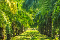 Coconut trees plantation in Thailand