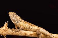 Garden lizard, Calotes versicolor, Chitrakoot, Chhattisharg